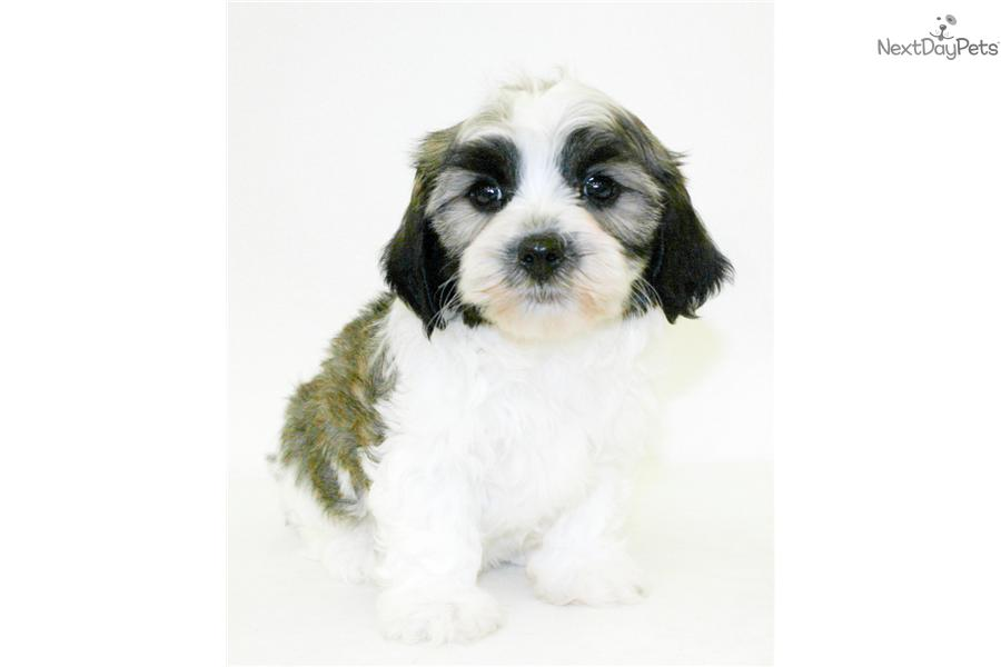 Meet Katie a cute Havanese puppy for sale for $399. Teacup ...