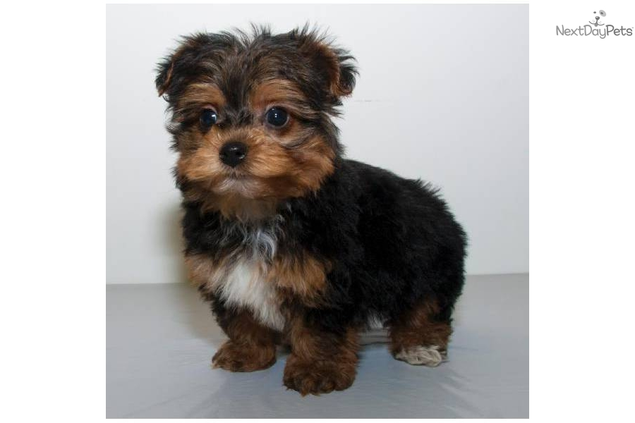 teacup yorkie poos for sale pin puppy yorkiepoo and a kitten yorkiepoo1com pinterest 5151