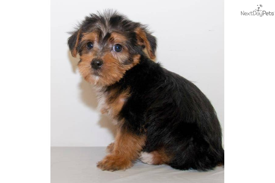 teacup yorkie puppies for sale in ohio yorkshire terrier puppies for sale in columbus ohio how 2476