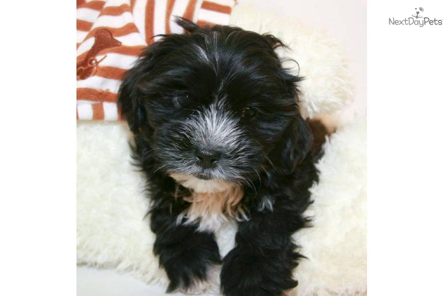 Meet Michael a cute Mal Shi Malshi puppy for sale for