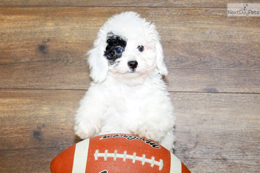 Poodle Toy Puppy For Sale Near Columbus Ohio 11d5850a Ab21