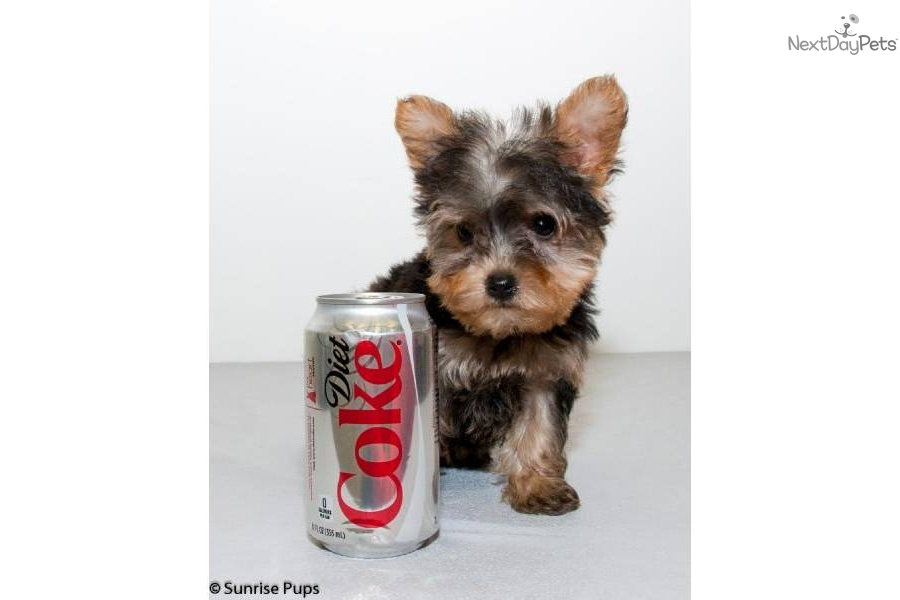 Yorkie Poo For Sale California