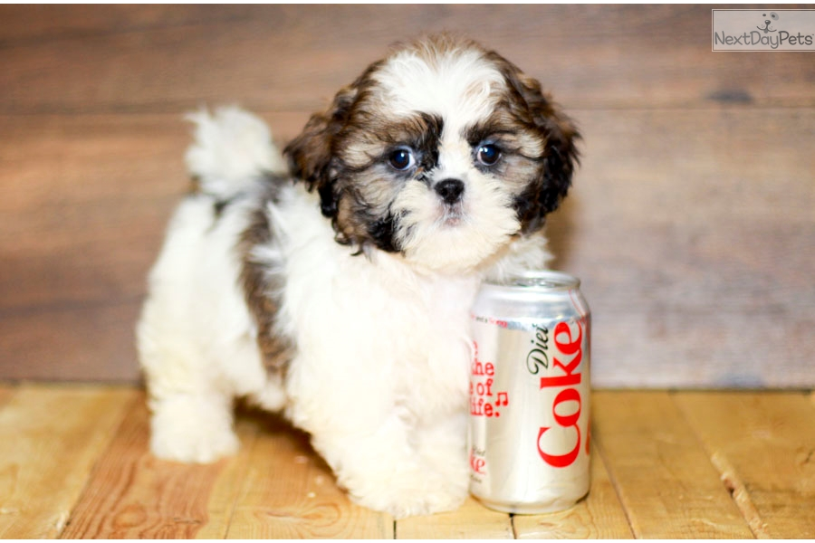 Shih Tzu Puppy For Sale Near Columbus Ohio Ae9af961 7771