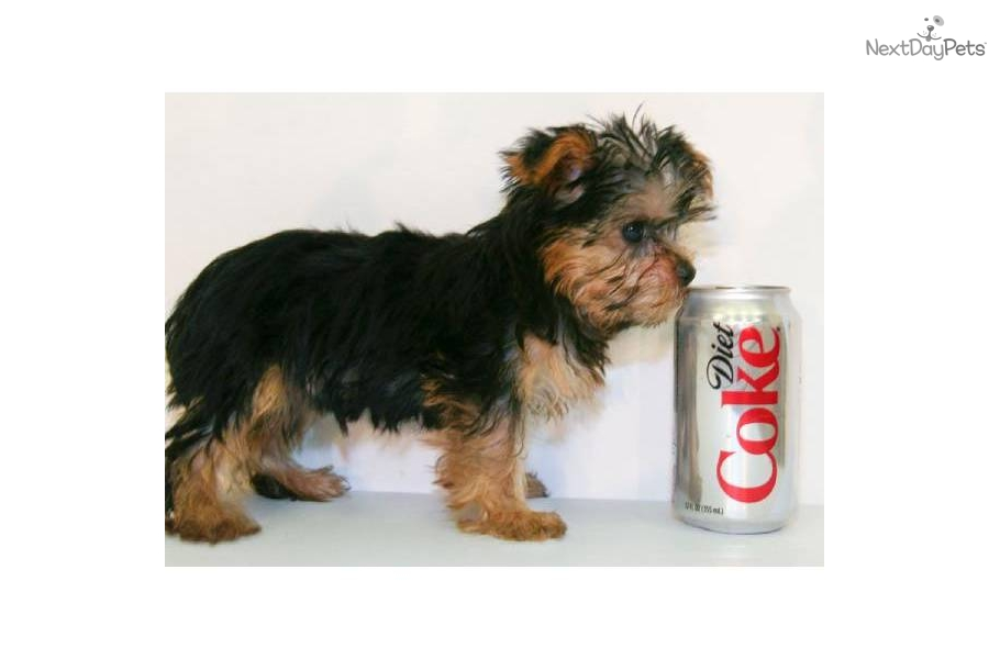 related for yorkshire terrier teacup full grown free ...