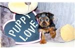 Picture of Giselle our female Yorkie,WWW.SUNRISEPUPS.COM