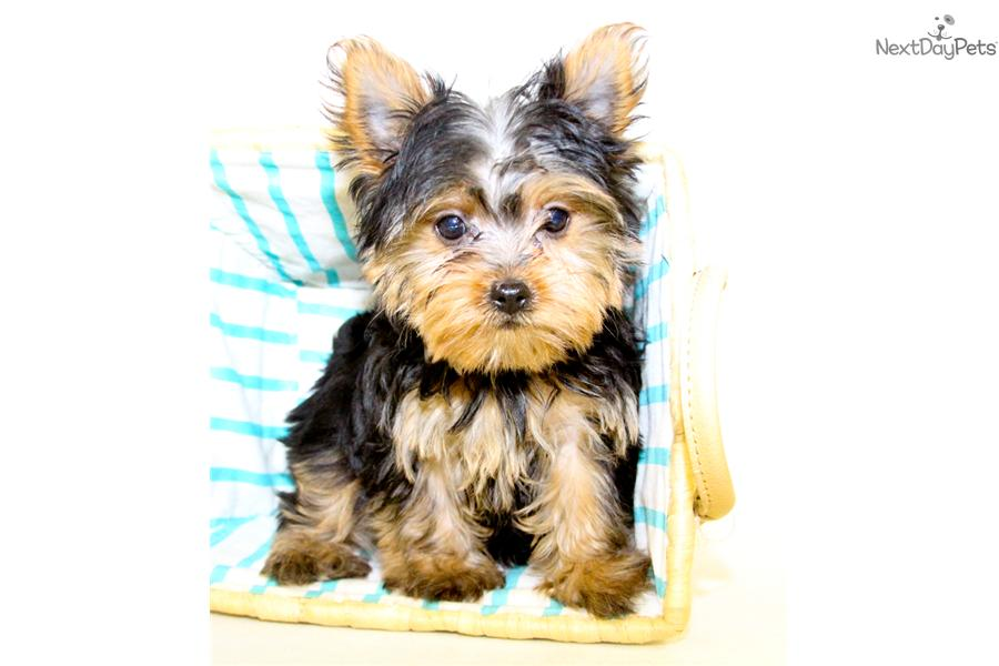 teacup yorkie puppies for sale in ohio yorkshire terrier yorkie puppy for sale near columbus 9511