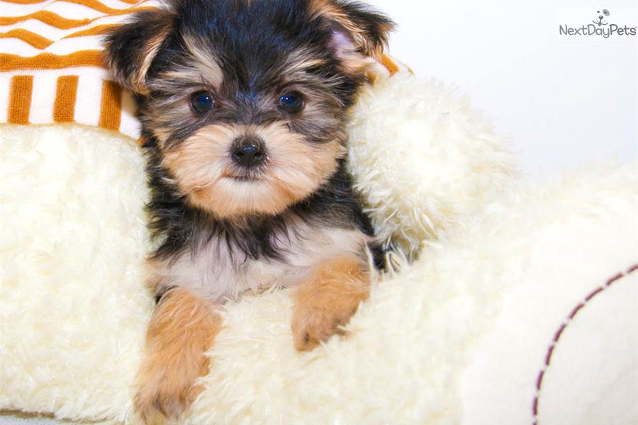 teacup yorkie for sale near me meet ronnie our male teacup yorkie yorkshire terrier 8823