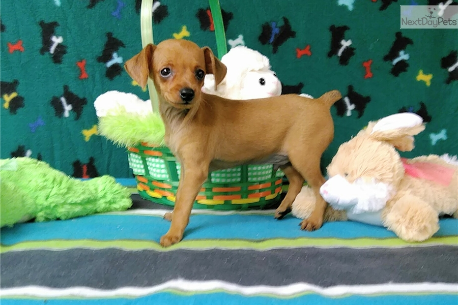 Baron Miniature Pinscher Puppy For Sale Near Winston Salem North