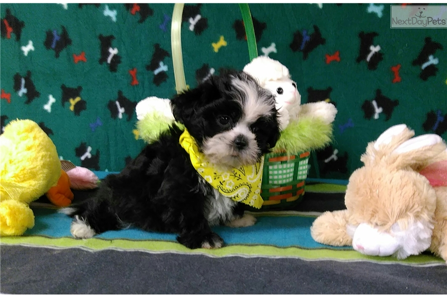 Panda: Shih Tzu puppy for sale near Winston-salem, North