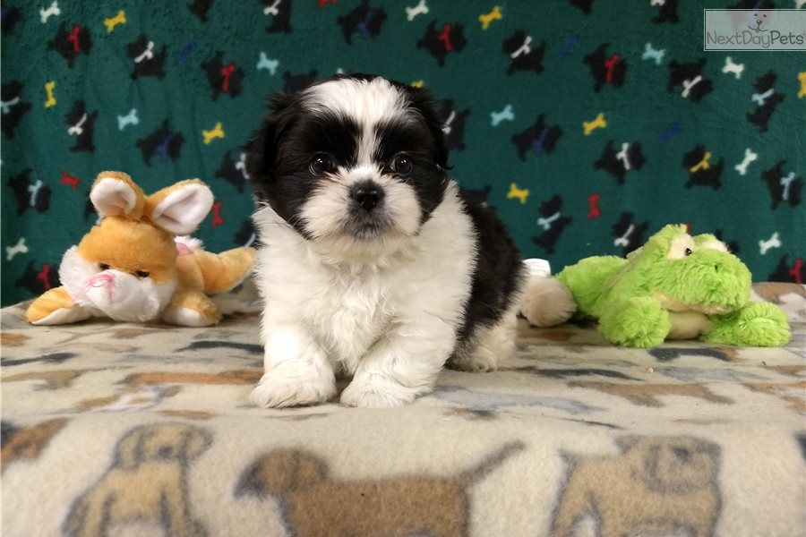 Shihpom Puppy For Sale Near Winston Salem North Carolina 6ac8927c