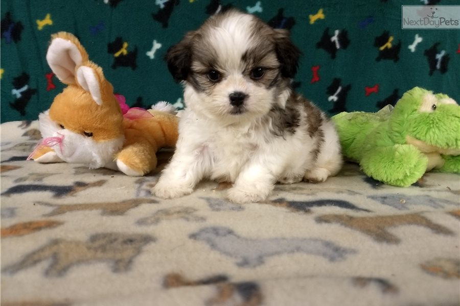 Shihpom Puppy For Sale Near Winston Salem North Carolina