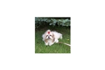 Featured Breeder of Papillons with Puppies For Sale