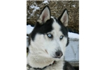 Featured Breeder of Siberian Huskies with Puppies For Sale