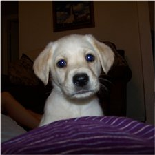 View full profile for Leishmans Loveable Labs