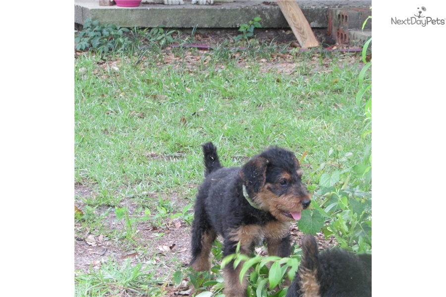 Akc Yogi Green   Black, Brown Male Airedale Terrier For ...