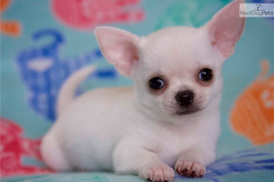 Cream Boy: Chihuahua puppy for sale near Greenville / Upstate, South