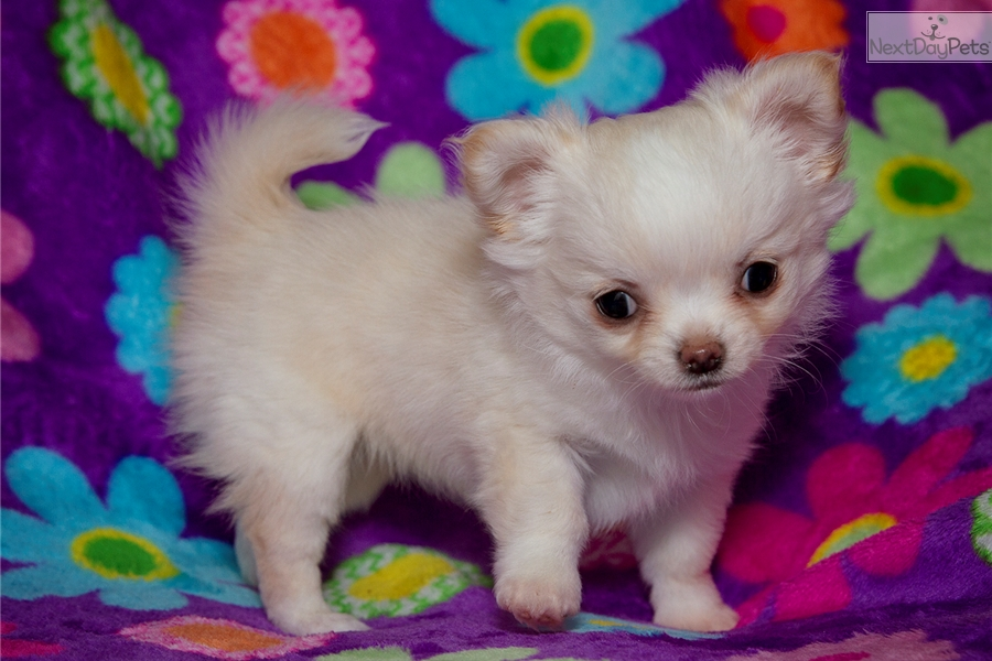 Ariel : Chihuahua puppy for sale near Greenville / Upstate, South