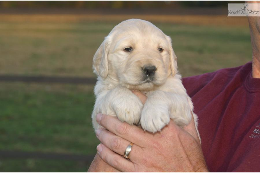 golden retriever puppies for sale in illinois golden retriever puppy for sale near southern illinois 5739