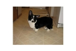 Picture of a Cardigan Welsh Corgi Puppy
