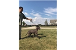 Xoloitzcuintlis for sale