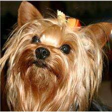 View full profile for Basin Creek Farm Yorkies and Biewers