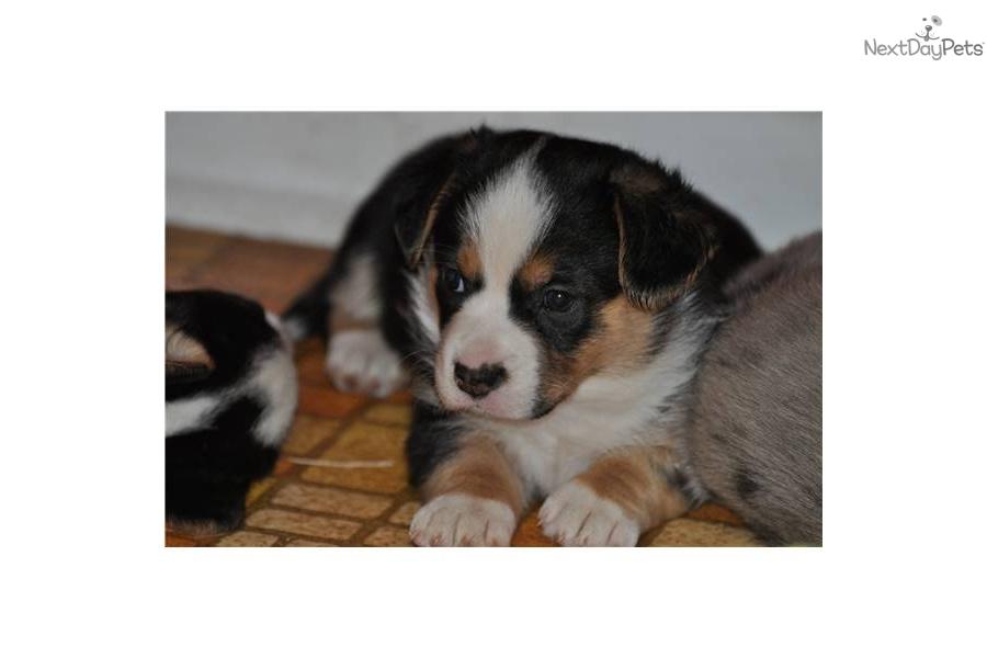 Welsh Corgi, Cardigan puppy for sale near Northern ...