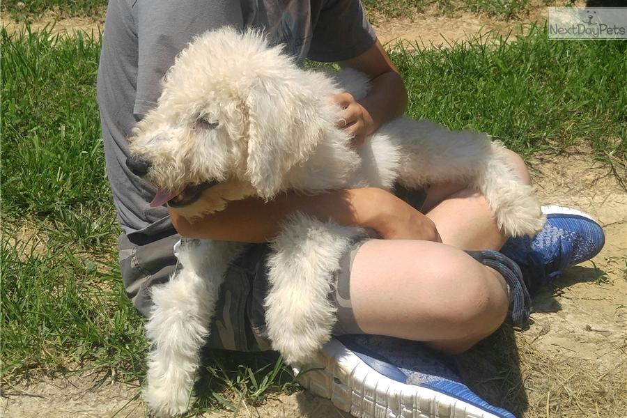 Zeke Komondor Puppy For Sale Near Nashville Tennessee