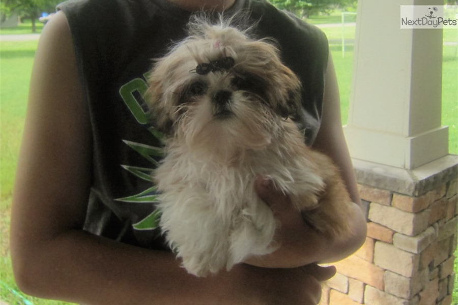shih tzu breeders in tennessee shih tzu puppy for sale near nashville tennessee 3424