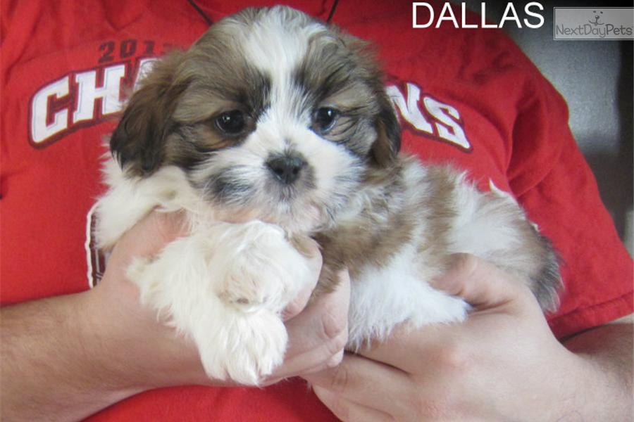 shih tzu breeders in tennessee shih tzu puppy for sale near nashville tennessee 7808