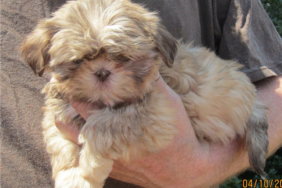 shih tzu breeders in tennessee shih tzu puppy for sale near nashville tennessee 5454