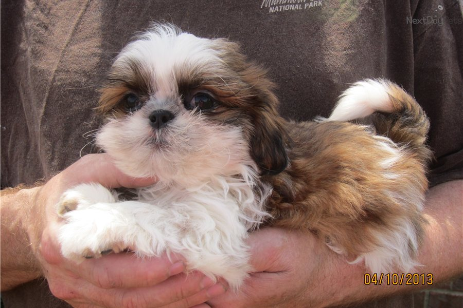 shih tzu breeders in tennessee shih tzu puppy for sale near nashville tennessee 3580