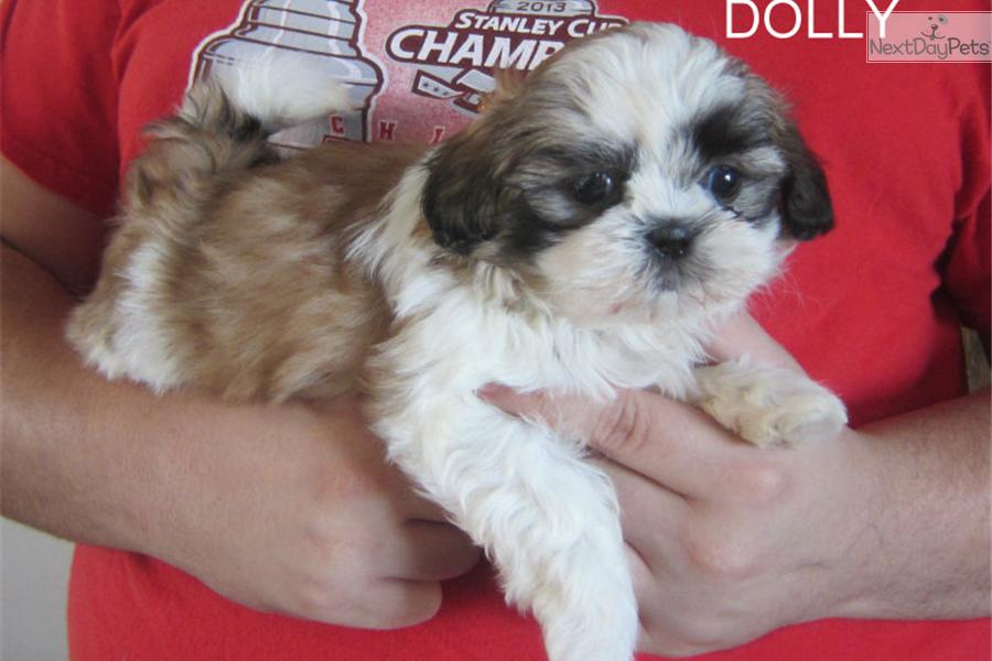 shih tzu breeders in tennessee shih tzu puppy for sale near nashville tennessee 7306