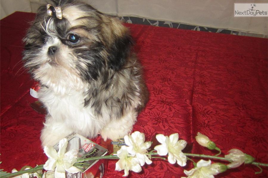 "Meet DENVER..aka ""PEYTON"" A Cute Shih Tzu Puppy For Sale"