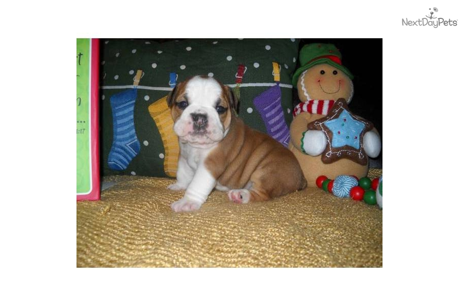 english bulldog puppies for sale in bay area puppies for sale from best of bay english bulldogs 3437