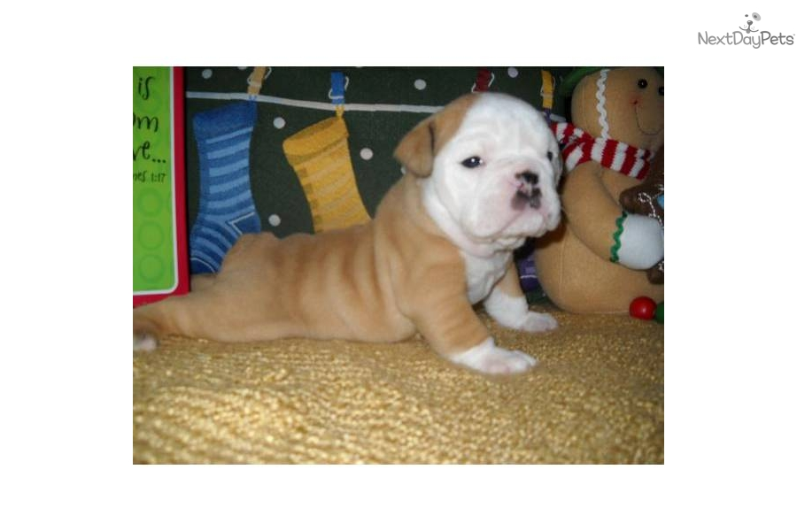english bulldog puppies for sale in bay area puppies for sale from best of bay english bulldogs 5249