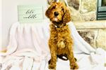 Picture of Irish Doodle -