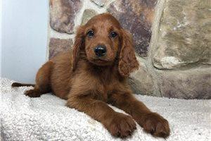 Irishdoodles for sale