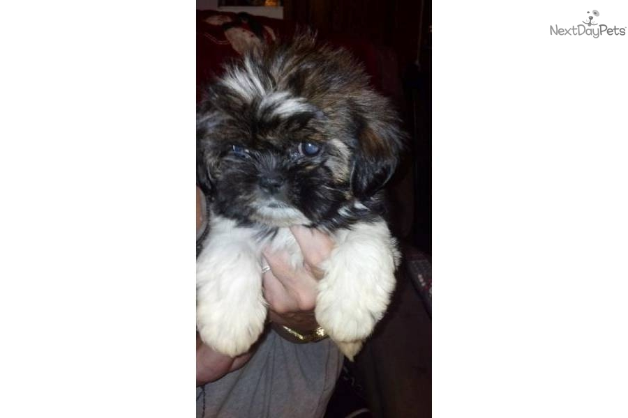 shih tzu breeders in md shih tzu for sale for 550 near frederick maryland 3526