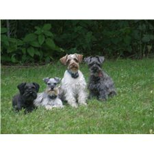 View full profile for MILLERS SELECT SCHNAUZERS