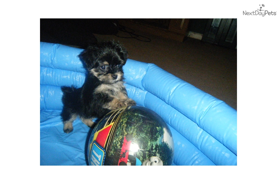 Yorkshire Terrier Yorkie Puppy For Sale Near Amarillo Texas
