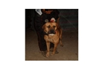 Featured Breeder of Tosa Inus with Puppies For Sale