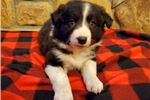 Picture of AKC Border Collie Macy