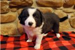 Picture of AKC Border Collie Chase