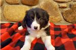 Picture of AKC Border Collie Rosy
