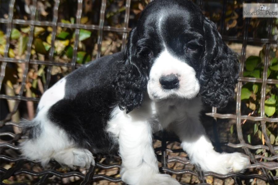 Cocker Spaniel Puppies Black And White