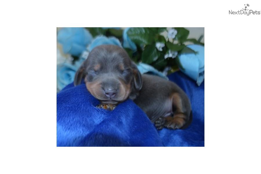 Pearl Dachshund Mini Puppy For Sale Near Colorado Springs