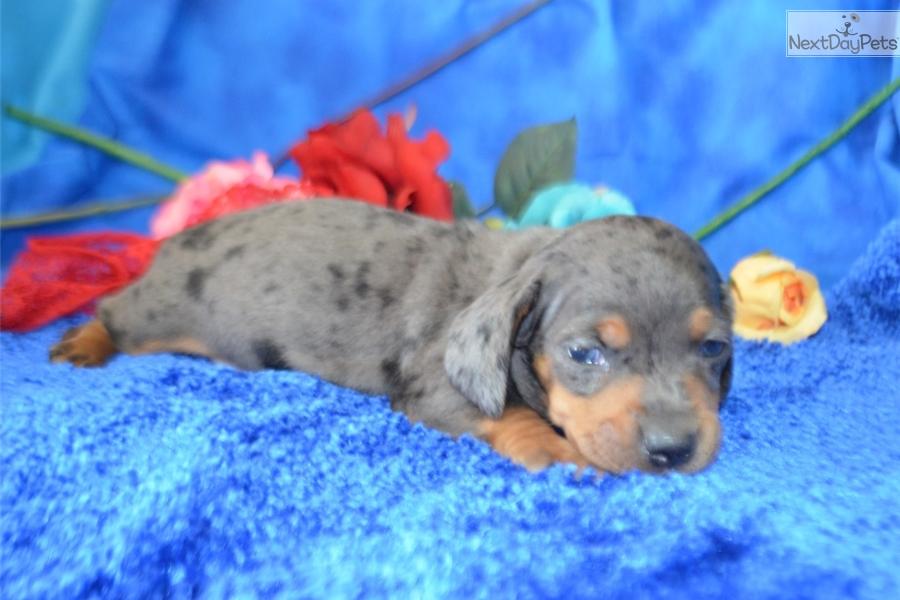 Mclovin: Dachshund, Mini puppy for sale near Colorado Springs