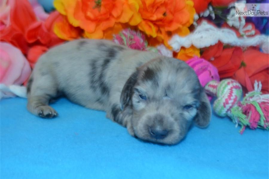 Billie Jean: Dachshund, Mini puppy for sale near Colorado Springs
