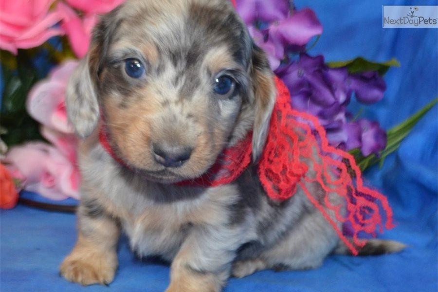 Jasper: Dachshund, Mini puppy for sale near Colorado Springs