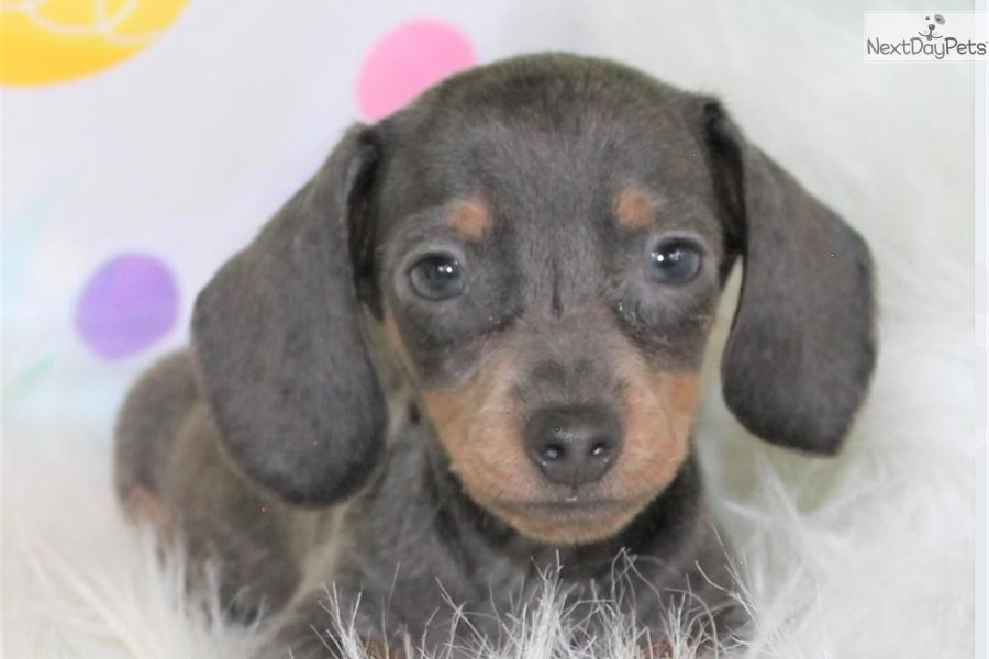 Duke: Dachshund, Smooth puppy for sale near Colorado Springs